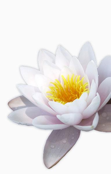 deep-forgiveness-lotus